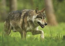 Retour du loup en Morbihan